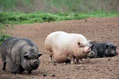 Four Little Piggies (catherine4077) Tags: pigs potbelly pigsanimalsanctuary animalsanctuary shepherdstown westvirginia