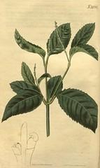 Anglų lietuvių žodynas. Žodis chloranthaceae reiškia <li>chloranthaceae</li> lietuviškai.