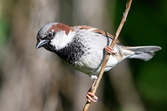 House sparrow (Happy snappy nature) Tags: housesparrow bird beautiful nature wildlife outdoors sunnyday shropshire