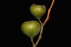Eupomatia laurina (andreas lambrianides) Tags: eupomatia laurina bolwarra copperlaurel eupomatiaceae nativeguava arfp cyrfp qrfp nswrfp vrfp tropicalarf subtropicalarf warmtemperatearf littoralarf dryarf wetsclerophyllaf understoreyarfp eupomatialaurina australiannativeplants australianflora australianrainforest australianrainforestplant noosanationalpark greenarffs scentedlaurel rosebush greybeech arffs australianrainforestfruitsandseeds australianrainforestfruits australianrainforestseeds