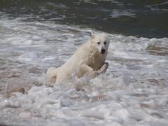 Power in den Wellen der Ostsee (reuas ogni) Tags: filou berger blanc suisse schäferhund hund dog isoz olympus zuiko shepherd ostsee polen wasser water meer sea
