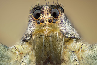 Studio macro - wolf spider