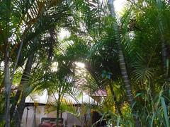 Backyard in Lanai City (thomasgorman1) Tags: trees palmtrees fujifilm hawaii lanai yard house sunlit sunlight palmfans island outdoors