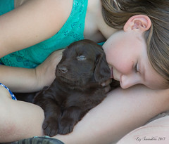 Socializing (Blazingstar) Tags: puppy socialization liver flatcoated retriever almost5weeks