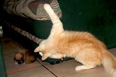 Aquí toy (angelmarioksherattoflores) Tags: gatos felinos animalesdomésticos cachorros mascotas elgüero