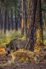 Wild Boar and piglets (G. Warrink) Tags: dehogeveluwe hogeveluwe veluwe gelderland nature outside wildlife boar wildboar piglet young