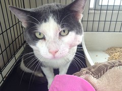 Humphrey - 2 year old neutered male