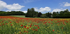 Poppy overdose (louise peters) Tags: poppy poppies papaver klaproos klaprozen koolzaad rapeseed brassicanapus field veld bloemen flowers trees red rood yellow geel châteauneufvaldebargis panorama sky clouds wolkenlucht blue blauw landscape landschap burgundy bourgogne bourgondië france frankrijk