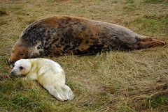 A Mother's Love - Donna Nook (JauntyJane) Tags: donnanook seals mablethorpe