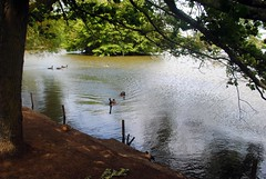 Ducking ashore (zawtowers) Tags: south norwood lake ground public park open space green sunday 11th june 2017 sunny warm dry sunshine afternoon walk amble stroll still calm water feature duck swimming reflection trees heading shore offering food