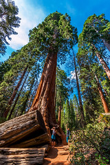 Grant Grove Tourists | Kings Canyon NP (Facundity) Tags: canoneos70d ©rachaellandau kingscanyonnp sequoias sequoiadendrongiganteum wideangle california trees giant 1022mm outdoors naturallight nationalpark grantgrove forest conifer tree wood pine 10mm tourists