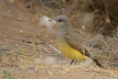 Nesting Material (Amy Hudechek Photography) Tags: bird westernkingbird nesting material cotton colorado wildlife nature spring amyhudechek