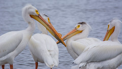 American White Pelican (Pelecanus erythrorhynchos) (ekroc101) Tags: birds americanwhitepelican pelecanuserythrorhynchos manitoba hecla heclaprovincialpark