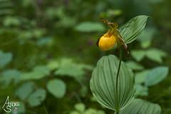 lesser yellow lady slipper, cypripedium parviflorum var. parviflorum (ats8110) Tags: lesser yellow lady slipper cypripedium parviflorum var michigan native wild orchid d700 nikon