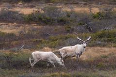 A Nice Rack In The Making (Zircon_215) Tags: caribou stag doe rangifertarandus newfoundlandwildlife newfoundland route480 burgeohighway woodlandcaribou westernnewfoundland