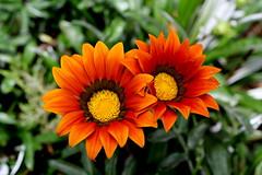 Double Beauty (amitava.das) Tags: gazania flower nature double canon orange india tamilnadu ooty