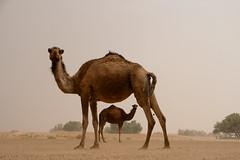 camel (ambfotos1) Tags: morocco desert sahara camels marakesh street travel
