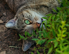 How did you find me ? (FocusPocus Photography) Tags: sethi katze kater cat chat gato tier animal haustier pet tabby busch bush