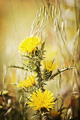 Have a nice Weekend! (memories-in-motion) Tags: yellow greeting bavaria germany flower macro nature natur gelb grass gras distel mood canon eos blossom details bokeh summer