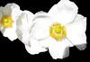 Snowy White Trio (Puzzler4879) Tags: anemone flower white whiteflowers threes flowercloseups flowermacro closeup macro bayardcuttingarboretum bayardcuttingarboretumstatepark stateparks newyorkstateparks longislandstateparks a580 canona580 powershota580 canonpowershota580 canon canonaseries canonphotography canonpointandshoot pointandshoot