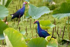 Swamphen among Lotus (PB2_1908) (Param-Roving-Photog) Tags: greyheaded swamphen bird water lotus lake wildlife wetland keshopur punjab wildlifephotography indianwildlife birding nikon tamron