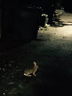 Rabbit in the night
