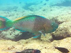 Hanauma Bay 19 (venusnep) Tags: hanaumabay hanauma bay underwater tropicalfish tropical fish iphone watershot watershotpro hawaii snorkeling travel travelphotography may 2018