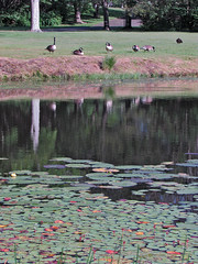 cemetery73171 (ginhollow) Tags: geese pond waterlillies