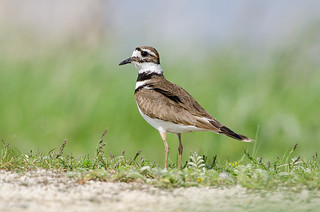 Killdeer - on deck