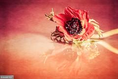 In love with Anemone (Anneke Jager) Tags: annekejager fineart flower flowers flowerpower mood moody love bloem bloemen blume anemoon anemone red rood