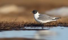 Sabines Gull (Daniel Behm Photography) Tags: sabinesgull gull sabines barrowak barrow ak alaska danielbehm behm naturemwildlife arctic arcticlight tundra water