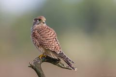 Young Kestrel again (eric-d at gmx.net) Tags: kestrel turmfalke falcon falke falcotinnunculus eric ericdgmxnet naturepicturede greifvogel birdofprey ngc