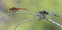 Red veined darter and Black tail skimmer (Jims Fotos) Tags: eos1dx ef300 14extendermklll insect dragonfly bugs bug arthropod colour macro closeup ngc sympetrum fonscolombii orthetrumcancellatum sympetrumfonscolombii redveineddarter blacktailedskimmer menorca