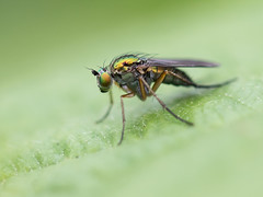 Green on Green (Brian Dunning) Tags: insect fly sandiwaylakes cheshire canon eos7dmarkii ef100mmf28lisusmmacro dolichopusplumipes