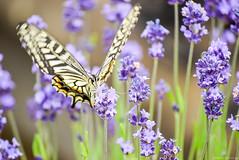 キアゲハ / Papilio machaon (March Hare1145) Tags: japan 日本 🐞 虫 insect