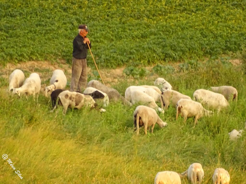 Águas Frias (Chaves) - ... o pastor e o rebanho ...