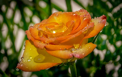 sparkling yellow orange rose (Pejasar) Tags: antigua guatemala sparkling rose yellow orange wet waterdrops bloom blossom flower