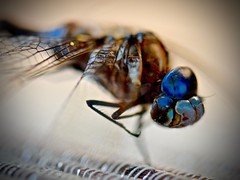 Dragonfly (Odonata):  a.k.a. Toothed One or Sky Hunter (Ginger H Robinson) Tags: dragonfly odonata toothedone skyhunter anisoptera forewings broadhindwings iridescent metallic blue colors large multifaceted eyes compoundeyes fast agile flier vtol hover stealthfighter ferocious predator sharp mandibles jaws exceptional peripheral vision compound ommatidia colorado macro insect nature outdoors