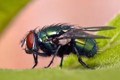 Green fly profile (Ghazghul) Tags: sigma105mmf28exdg sigma 105mmf28exdg nikon d300s sb800 fly macro bug insect andrewpotter
