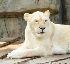 IMG_0641.jpg (wfvanvalkenburg) Tags: ouwehandsdierenpark familie lion