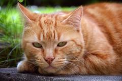 cat (elka.) Tags: chat cat cats gata gato kot katze katt neko animal nature katte gatto γάτα кошка кошки котка eyes face