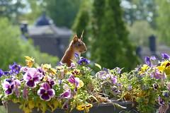 P1000726 (FAJM) Tags: ekorre squirrel écureuil ardilla scoiattolo egern ekorn orava orav sweden sverige viggbyholm stockholm sciurusvulgaris redsquirrel