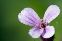 Tiny flower with pollen (Ghazghul) Tags: flower pollen nikon d300s sigma sb800 bokeh andrewpotter sigma105mmf28exdg 105mmf28exdg