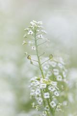 sweet alyssum (MikaJC) Tags: sweetalyssum obulariamaritima flowers tinyflowers bbg