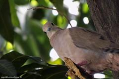 I see you, you see me (cepsl) Tags: birds pigeon wildlife zenaidaauriculata aves columbiformes columbidae eareddove palomitamontera torcazanagüiblanca tórtolacomún abuelita