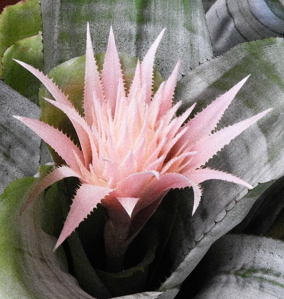The Worlds Most Recently Posted Photos Of Bromeliad And Pink