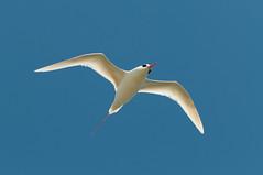 Head tilt (_quintin_) Tags: hawaii kauai redtailed tropicbird bird animal kilauea point