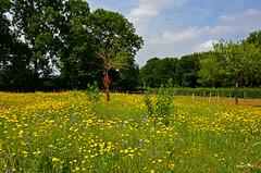 Landscape Flowers (JaapCom) Tags: jaapcom landscape landschaft flowers flower fleurs flowering flour paardebloemen holland netherlands natural natuur wezep