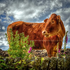 A Vibrant Yorkshire Cow! (Missy Jussy) Tags: yorkshire cows animal farming farmland cattle foxglove thistle wildflower wall drystonewalls sky hdr clouds canon canon5dmarkll 50mm ef50mmf18ll canon50mm fantastic50mm summer britishsummertime camping