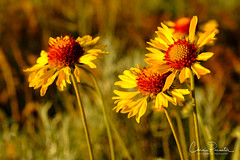 Wild Daisies (Chris Parmeter Photography) Tags: daisies wild nature colors light fuji xt2 18135mm plant petals yellow red
